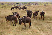 Cape Buffalo and zebras in the Ngorongoro Crater Conservation Area