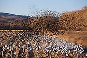 Flock of birds at Bosque del Apache Preserve