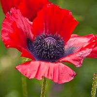 Botanicals: Poppies