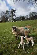 Spring is the lambing season and Torsonce Main Farms is busy lambing. Here a ewe and her two new born lambs on uncertain legs enjoy the sun on a hillside.
