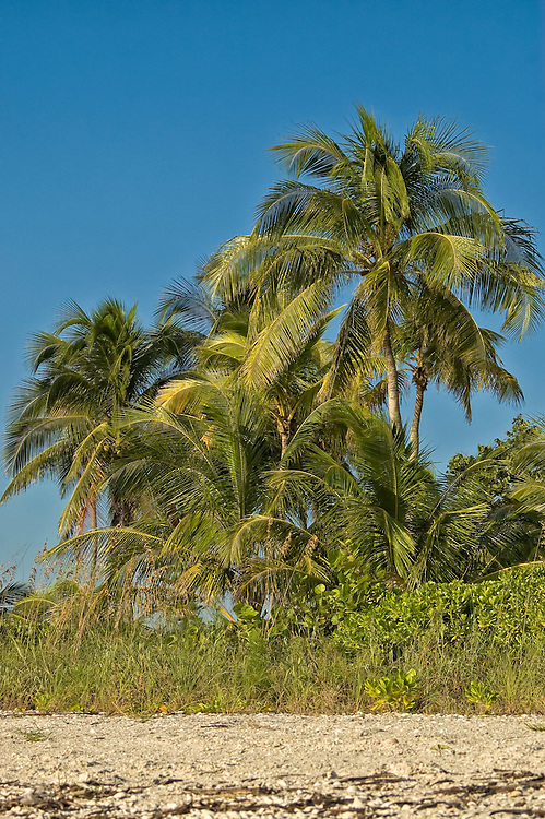 A stand of coconut palms grow on the beach on Estero Island in Southeast Florida.