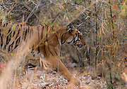 Female tiger Maya in the bamboo forest of Tadoba NP, India, in February 2016.