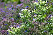 Blue and white Borage, Borago officinalis, in organic vegetable garden in Oxfordshire UK