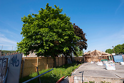 © Licensed to London News Pictures; 02/11/2020; Bristol, UK. File picture dated 20/05/2020 showing 3 Norway Maple trees; Campaigners for the Save The M32 Maples Campaign are dismayed after contractors working for a developer from 6am this morning cut down 2 of the 3 maple trees where the campaigners had built tree houses to protect the 3 remaining Norway Maple trees on Lower Ashley Road in the St Pauls area of Bristol close to the M32 motorway. Several people from the campaign are occupying the remaining tree and tree house. The campaign wanted the trees kept to enhance the environment and help remove pollution in what is a traffic congested area. The campaign asked the police Serious Fraud Unit to investigate allegations of a fraudulent Bristol City Council giveaway of £500,000 of public property, including the trees. Campaigners have obtained documents which show the mature trees fall outside the boundary of the land on Lower Ashley Road owned by John Garlick, and they claim the strip of land the three remaining protected trees are on belongs to Bristol City Council's highways department. Bristol City Council denies the claim and says the existing maps are inaccurate and that the trees are not on council owned land as it was all sold off by the council. Two of five trees originally there were felled on New Year's Eve, and campaigners chained themselves to remaining trees to prevent them being cut down. Photo credit: Simon Chapman/LNP.