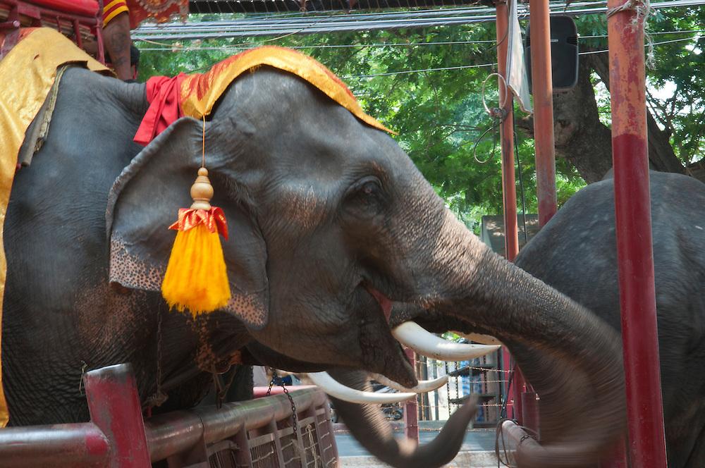 Street elephants in the city of Ayutthaya, Thailand.