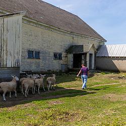 Kerri Scruton and her sheep at the Scruton dairy farm in Farmington, New Hampshire.