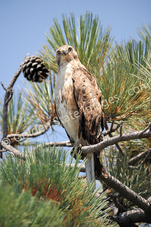 Peregrine falcon perched at the top of a Torrey Pines tree. <br /> <br /> Species: Falco peregrinus