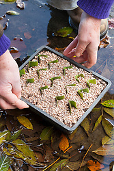 Taking leaf cuttings from Eucomis 'Sparkling Burgundy'. Pineapple lily. Adding grit and placing in puddle to soak up water