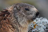Alpine Marmot (Marmota marmota)'s portrait. Hohe Tauern National Park, Carinthia, Austria