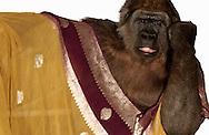 Deutschland, DEU, Krefeld, 2004: Projekt ueber die biologischen Wurzeln der Mode. Die Shootings hierfuer wurden mit Grossen Menschenaffen, die dem Menschen am naechsten sind, im Krefelder Zoo gemacht. Die Tiere waren weder zahm noch trainiert. Die Kleidungsstuecke wurden in die Gehege geworfen und was immer die Tiere damit anstellten, taten sie aus sich selbst heraus. Ein Eingreifen oder gar eine Regie war unmoeglich. Da das Verhalten der Affen im Mittelpunkt stand, wurden die Hintergruende von den Originalfotografien entfernt. Gorilla-Weibchen Oya mit einem Tuch, gesehen bei Silkroad in Muenchen. | Germany, DEU, Krefeld, 2004: Project to look at the basics and roots of fashion. The shootings took place in the Zoo Krefeld with three species of Great Apes who are the nearest to us. The animals were neither tamed nor trained. Whatever the animals did, they did on their own. Any intervention or directing was impossible. To set the focus on the behaviour of the animals itself we removed the background from the original photographs. Gorilla (Gorilla gorilla) female Oya with scarf seen at Silkroad in Munich. |