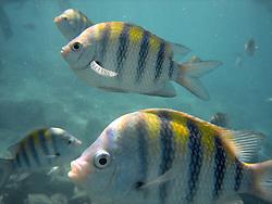 A school of sergeant fish in Aruba.