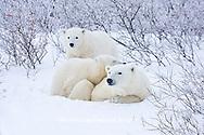 01874-11617 Polar Bears (Ursus maritimus) female and 2 cubs, Churchill Wildlife Management Area,  MB