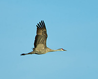 Sandhill Crane (Antigone canadensis). Bitter Lake National Wildlife Refuge. Roswell, New Mexico. Image taken with a Nikon D4 camera and 500 mm f/4 VR lens and 2.0x TCE-II teleconverter.