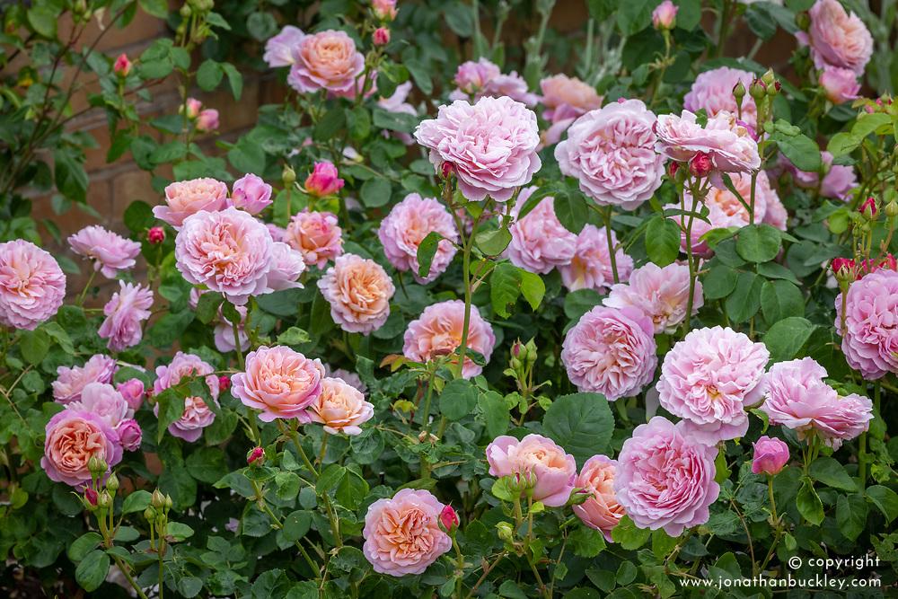 Rosa 'Eustacia Vye' syn. 'Ausegdon'