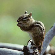 Eastern Chipmunk, (Tamias striatus) Sitting on log pile pauses for a quick grooming. Fall.