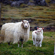 Momma and baby sheep out to pasture in Heimaey on the Westman Islands in south Iceland.