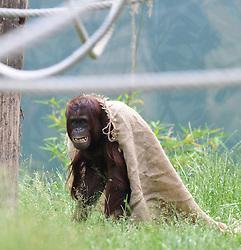 08.06.2011,Tiergarten Schoennbrunn, Wien, AUT, Chronik, im Bild Orang-Utan // orangutan, chronicle, AUT, Vienna, zoological garden Schoennbrunn, 2011-08-06, EXPA Pictures © 2011, PhotoCredit: EXPA/ M. Gruber
