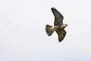 Peregrine (Falco peregrinus) juvenile in flight. Sussex, UK.