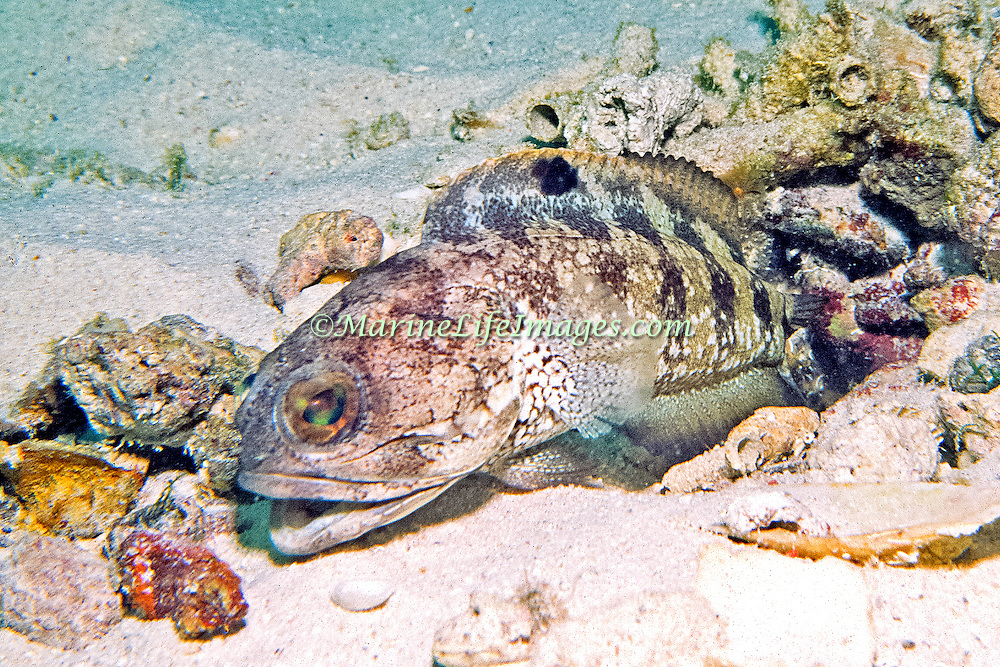Banded Jawfish inhabit shallow areas of sand, coral rubble and rocks, live in burrow usually extend head, in Tropical West Atlantic; picture taken Barbados.