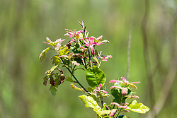 Burr Oak tree seedling (Quercus macrocarpa)