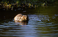 The American Beaver, Castor canadensis or simply Beaver in North America is native to Canada, much of the United States and parts of northern Mexico.