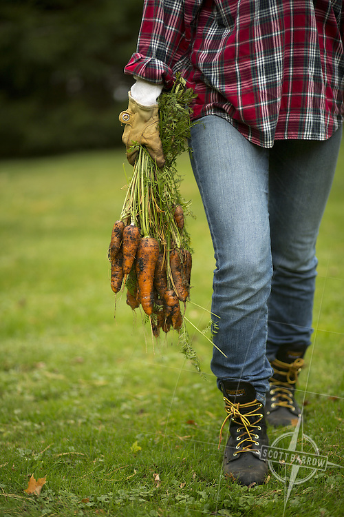 Twenty somehting woman with gloved hands carrying fresh, organic carrots in from the field or garden.