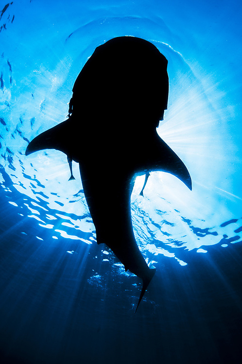 Whale shark (Rhincodon typus) silhouette while feeding on fish spawn, Isla Mujeres, Mexico.