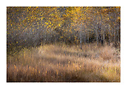 Meandering evening, autumn light in a small opening at the edge of an aspen grove in the Eastern Sierras