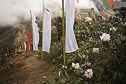 Rhododendrons flower among Buddhist prayer flags above Tengboche Monastery, Khumbu (Mount Everest) region, Sagarmatha National Park, Himalaya Mountains, Nepal.