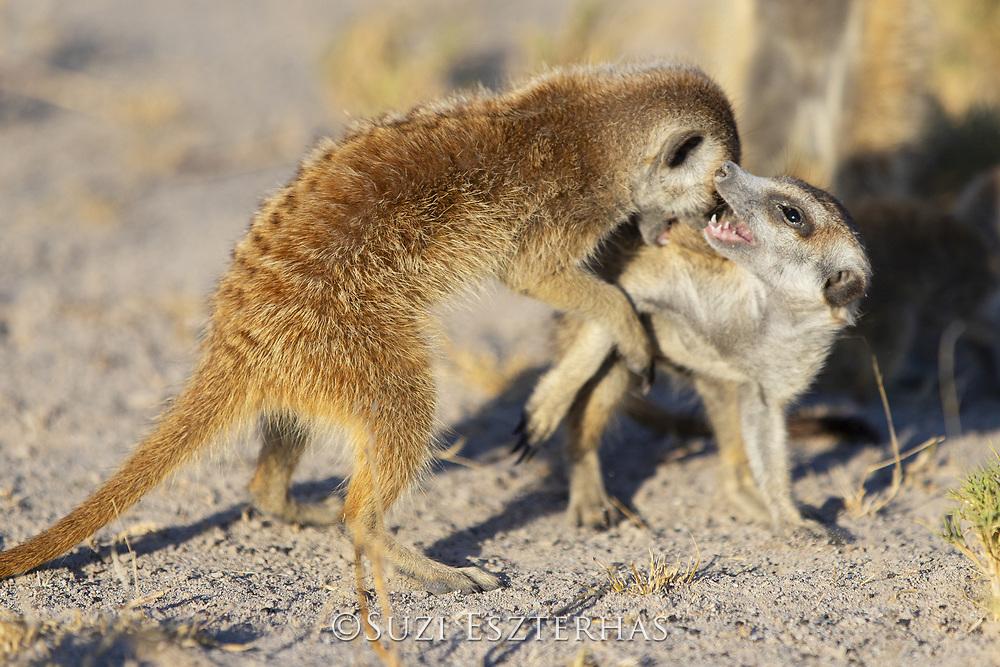 Meerkat<br /> Suricata suricatta<br /> Juveniles playing<br /> Makgadikgadi Pans, Botswana