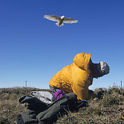 Denver Holt at a nesting site about to be attacked by a Snowy Owl. Barrow, Alaska