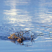 Beaver, (Castor canadensis) In beaver pond carrying branches, swimming. Alaska.