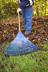 Raking autumn leaves off a lawn and gathering them to make leaf mould