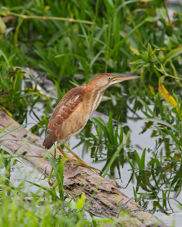 A juvenile Least Bittern steps out into the open for a rare photo opportunity.
