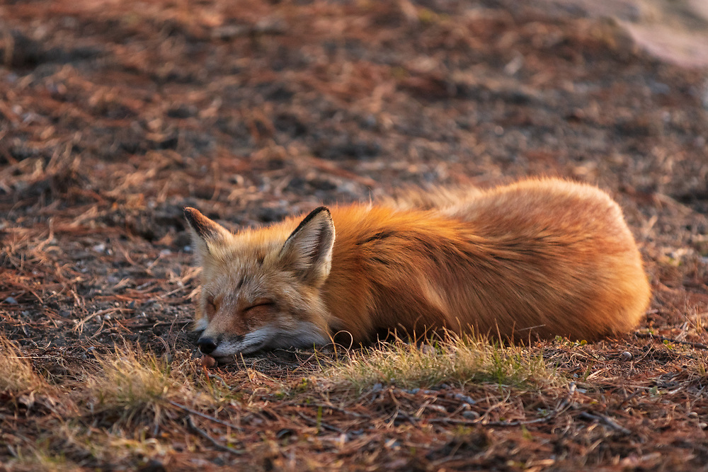 https://Duncan.co/sleeping-fox