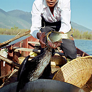 Mr Yang, a Bai ethnic minority man, one of only 6 cormorant fisherman remaining on Er Hai, Xizhou, Yunnan Province, China. Cormorant fishing is a traditional fishing method in which fishermen use trained cormorants to fish in rivers. Historically, cormorant fishing has taken place in Japan and China since about 960 AD. To control the birds, the fishermen tie a snare near the base of the bird's throat. This prevents the birds from swallowing larger fish, which are held in their throat, but the birds can swallow smaller fish. When a cormorant has caught a fish in its throat, the fisherman brings the bird back to the boat and has the bird spit the fish up. Though cormorant fishing once was a successful industry, its primary use today is to serve the tourism industry.