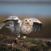Snowy Owl (Bubo scandiacus) adult taking flight. Barrow, Alaska