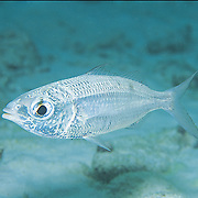 Mottled Mojarra inhabit shallow sandy areas in Tropical West Atlantic; picture taken St. Vincent.