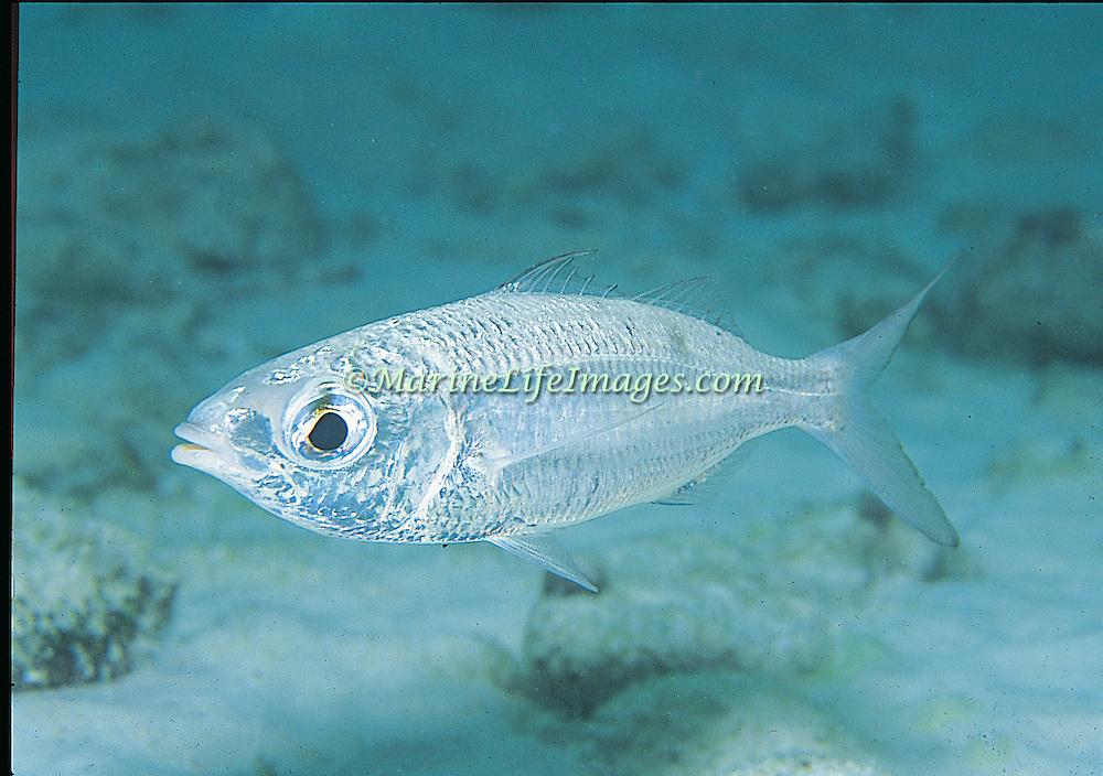 Mottled Mojarra inhabit shallow sandy areas in Tropical West Atlantic; picture taken St. Vincent.