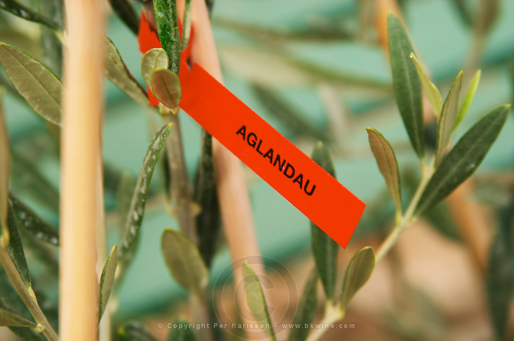 Close up on a small olive tree plant marked with a label with the variety Aglandau. Moulin Mas des Barres olive mill, Maussanes les Alpilles, Bouches du Rhone, Provence, France, Europe