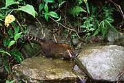 South America Coati<br />Nasua nasua<br />Manu Cloud Forest, PERU<br />RANGE; East of Andes - Colombia to Uruguay