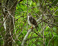 Cooper's Hawk (Accipiter cooperii). Image taken with a Nikon D800 camera and 500 mm f/4 VR lens.
