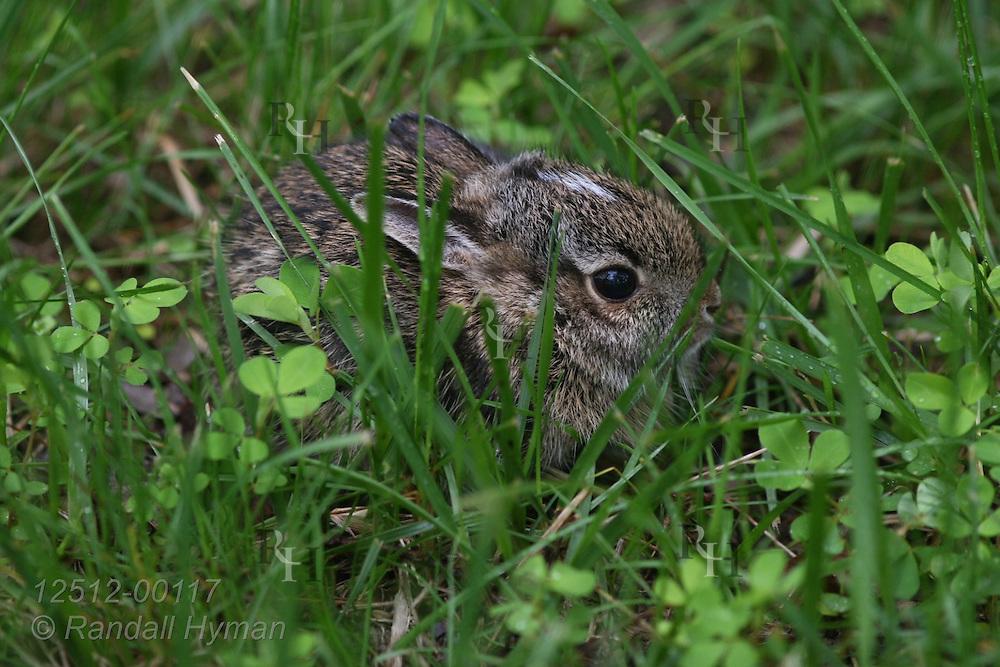 Baby eastern cottontail rabbit (Sylvilagus floridanus) hides in grass in Kirkwood, Missouri.