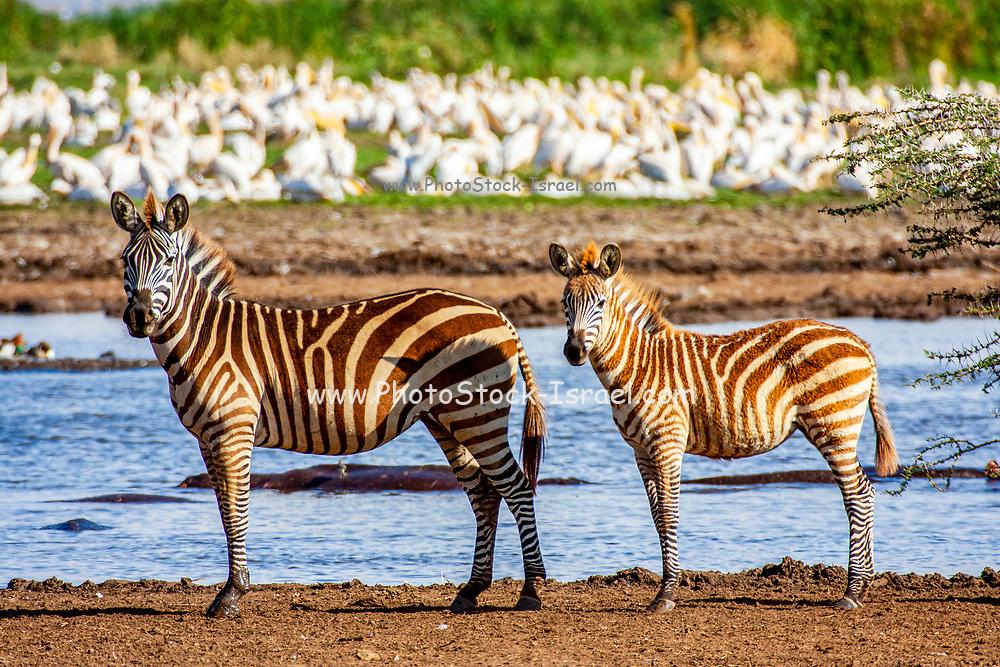 Single juvenile Plains zebra (Equus) at Serengeti National Park, Tanzania, Africa
