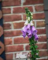Foxglove. Image taken with a Leica SL2 camera and 35 mm f/1.4 lens.