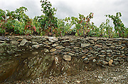 Collioure. Roussillon. Vines trained in Gobelet pruning. Vine leaves. Terroir soil. France. Europe. Vineyard. Soil with stones rocks. Schist slate soil.