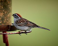Chipping Sparrow. Image taken with a Nikon D5 camera and 600 mm f/4 VR lens (ISO 450, 600 mm, f/5.6, 1/1250 sec)