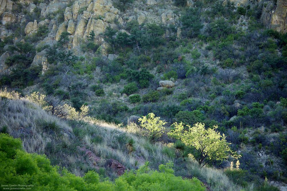Rising sun highlights mesquite trees in Peña Blanca Canyon in the Tumacacori Wilderness Area of southern Arizona