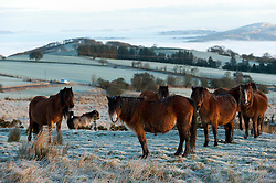 © Licensed to London News Pictures. 11/02/2016. Builth Wells, Powys, Wales, UK. Welsh ponies are seen at sunrise on the high moorland of the Mynydd Epynt range, near Builth Wells, Powys, Wales, after a cold night with temperatures dropping to minus 2 degrees centigrade. Photo credit: Graham M. Lawrence/LNP