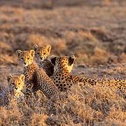 Cheetah, (Acinonyx jubatus) Mother and cubs on Serengeti Plains. Masai Mara Game Reserve. Kenya. Africa.